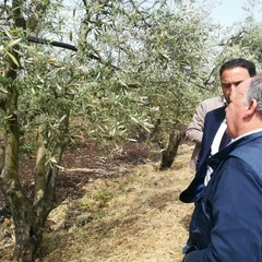 Maltempo, nelle campagne di Terlizzi è strage di ulivi