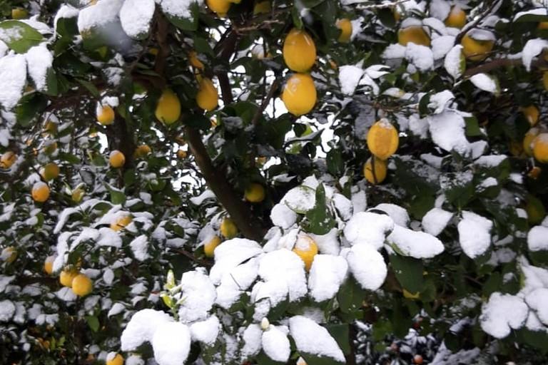 agrumi nella neve