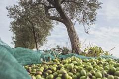 Crollano i prezzi delle olive. La Regione Puglia approva un documento all'unanimità