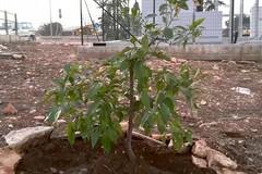 Un albero di arancio in viale dei lilium accanto al ripetitore