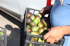 Inizia la raccolta del frutto prelibato, il fiorone Sant'Antonio e Menghtaur
