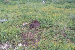 Orrore nelle campagne: trovata carcassa di cinghiale - FOTO