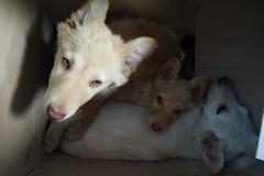 Quattro cuccioli abbandonati in un cartone: salvati da una passante