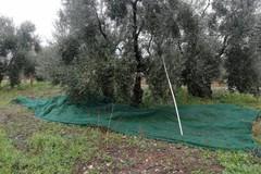 Arrivano le Guardie Campestri: ladri di olive in fuga a Terlizzi