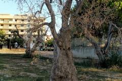 Taniche di acqua e zappe, Puliamo Terlizzi soccorre gli ulivi secolari