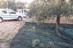 Sventato l'ennesimo furto di olive dalle Guardie Campestri