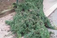 Vento forte, cade un albero in via D'Acquisto / FOTO