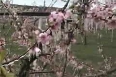 Il gelo brucia peschi e mandorli in fiore: addio frutta anche nelle campagne di Terlizzi?