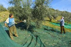 Furti di olive all'ordine del giorno, necessario rafforzare i controlli