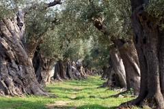 """Caldo e siccità, alberi di ulivo in """"coma vegetativo"""""""