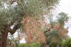 La Xylella arriva nella ex provincia di Bari