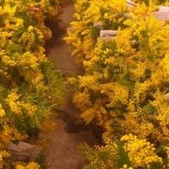 Giornata della Donna, le mimose di Terlizzi nei negozi di tutto il Sud Italia