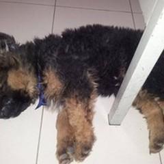 Aron, il cagnolino in divisa adottato dai vigili di Terlizzi