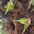 Invasione di pappagalli verdi a Terlizzi e dintorni: mandorle devastate