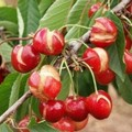 Piogge intense sulla Puglia e le ciliegie fanno crac