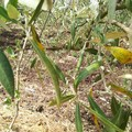 Maltempo, nelle campagne di Terlizzi è strage di ulivi. LE FOTO