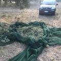 Beccati a rubare olive sulla Terlizzi-Molfetta, fuggono prima dell'arrivo della Metronotte