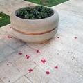 Strappati i ciclamini dalle fioriere su corso Dante