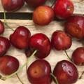 Dall'Asia orientale l'invasione dei moscerini della frutta, danni nel Barese
