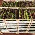 Start Manghetaur, la Cooperativa Agricoltura Progresso apre la campagna dei fioroni