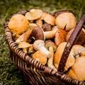 Torna a Terlizzi il corso di formazione per il riconoscimento dei funghi