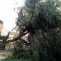 Maltempo, il vento spezza in due un albero in un condominio di via San Francesco