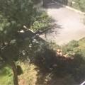 """Abbattuto pino secolare nella scuola  """"Rodari """": Legambiente Terlizzi chiede spiegazioni"""