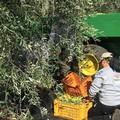 L'allarme di Rifondazione Comunista: campagne deserte, è crisi per il settore olivicolo