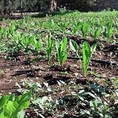 Inverno pazzo, agricoltura in crisi