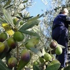 Migliorare le condizioni di lavoro degli agricoltori a vantaggio delle aziende olivicolo-oleario