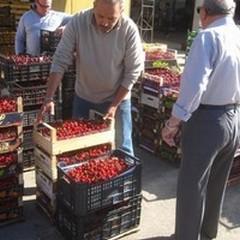 Prosegue senza intoppi la stagione delle ciliegie