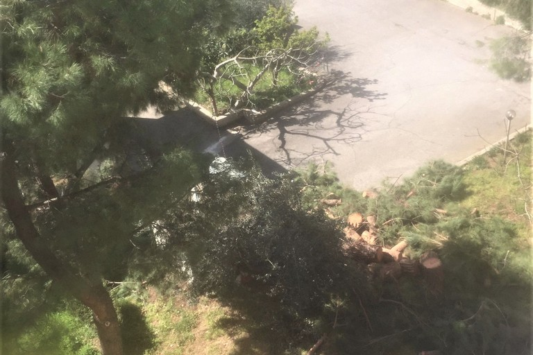 Il pino abbattuto