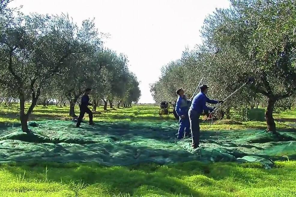 agricoltura economia raccolta olive