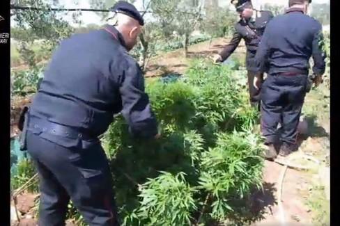 Pensionato di 70 anni con la passione per la marijuana